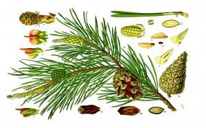 Pine!