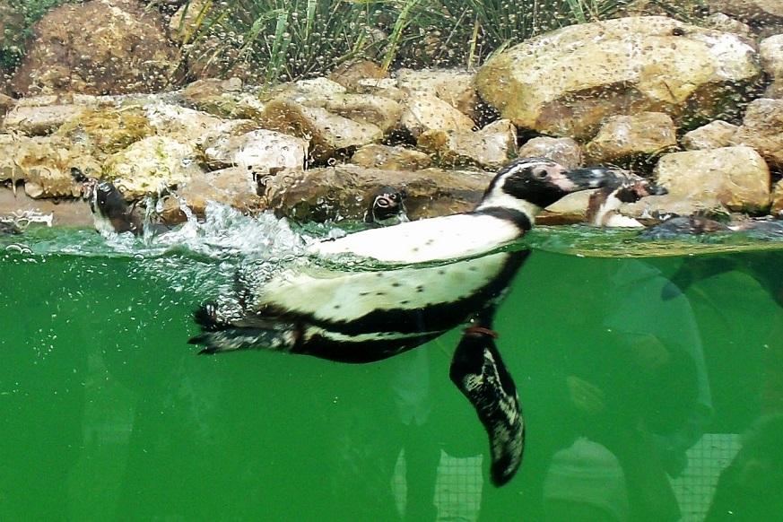 Penguins at Biotropica
