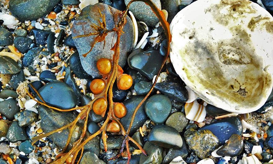 Normandy-seaweed
