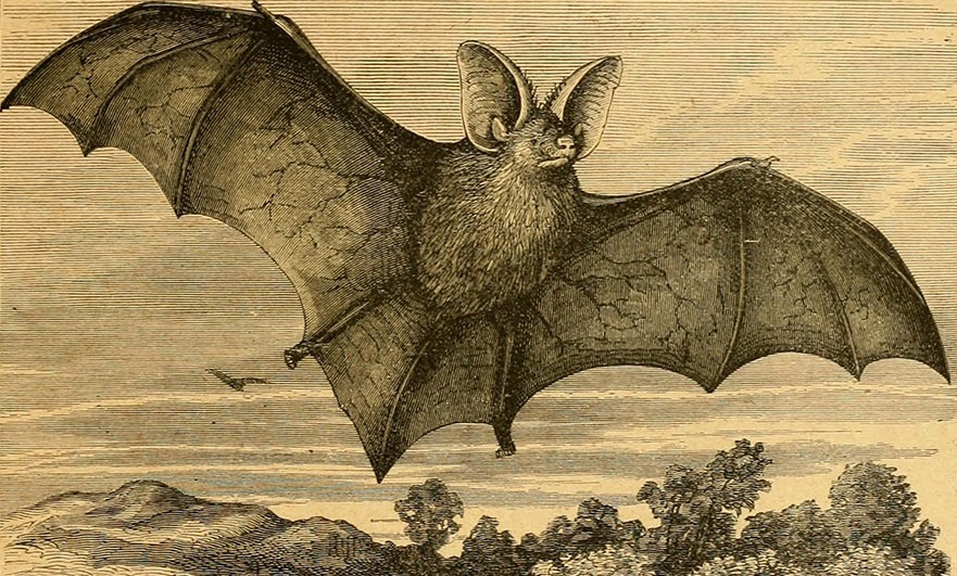 Geoffroy's Bat, Loisail cave resident. Illustration from Cassell's natural history 1896