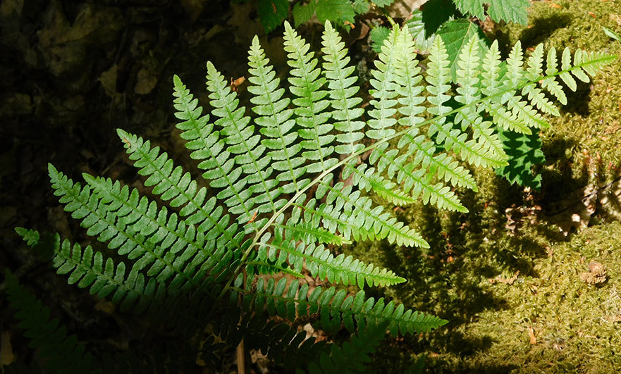 Ferns by the river - these plants are so ancient they appear in fossils